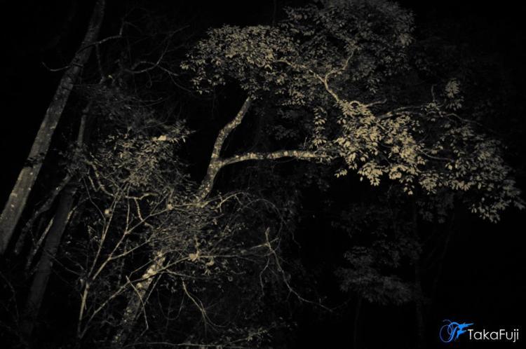 Pokok dimana Pontianak sering singgah